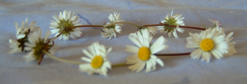 By User Ecrips on en.wikipedia (Own work) [Public domain], via Wikimedia Commons  - Have you ever made daisy chains?