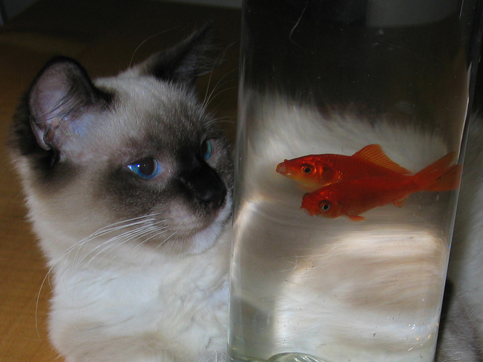 cat goldfish concentration focus bowl water fur blue eyes