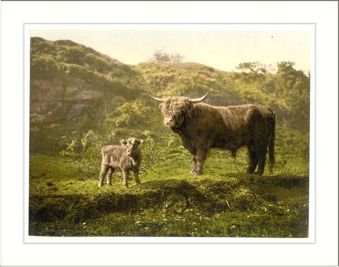 cattle father son family resemblance