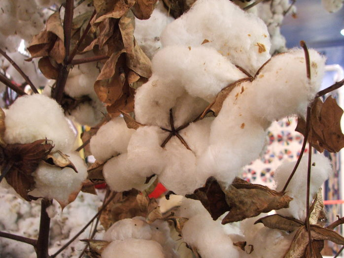 Cotton (Image by ronnieb via morguefile)