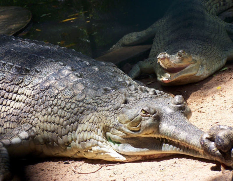 crocodile  - Have you ever come face-to-face with an alligator or crocodile?