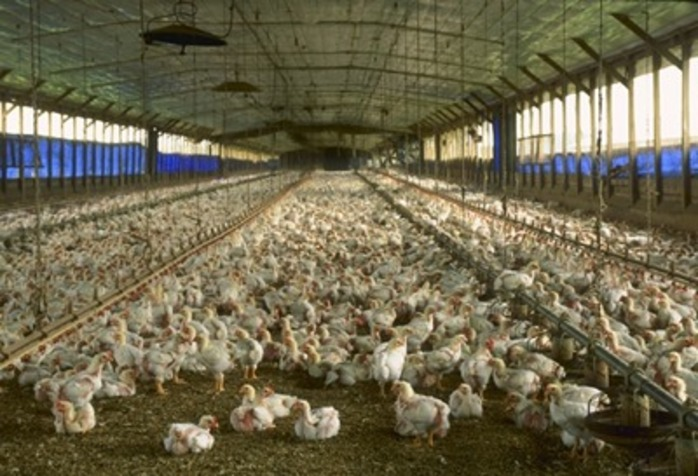 do,you,buy,free,range,organic,or,barn,chickens,to,eat