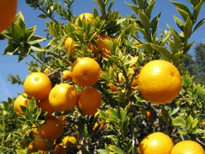 do,you,have,any,type,of,citrus,trees,growing