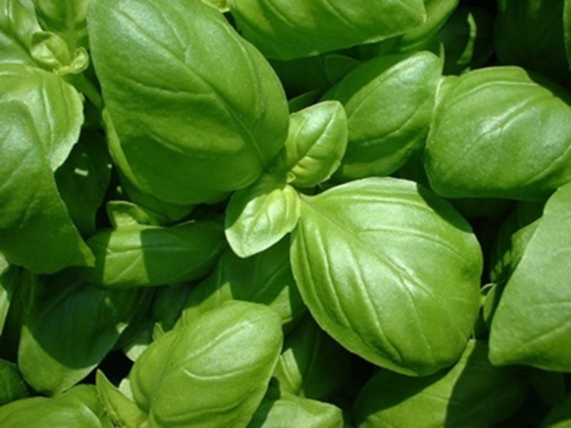 do,you,like,the,taste,of,basil