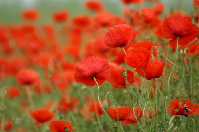 have you ever grown poppies