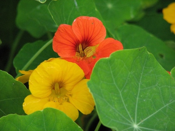 Have,you,ever,eaten,a,nasturtium
