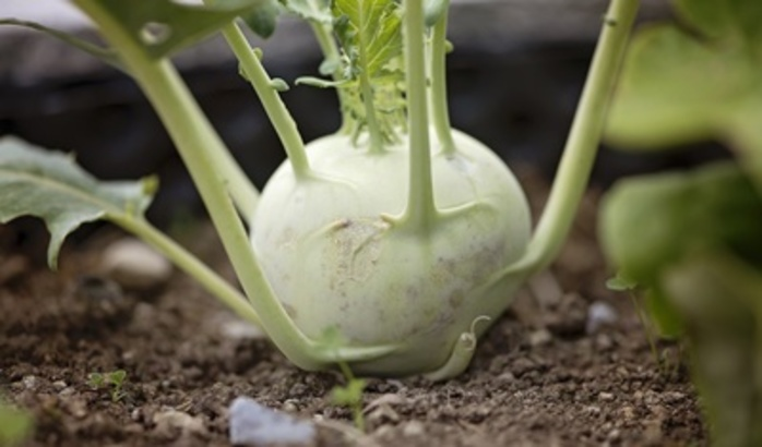 have,you,ever,heard,of,or,tasted,kohlrabi