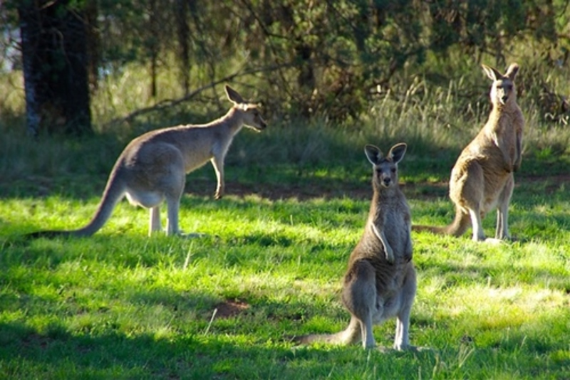Have,you,ever,seen,a,kangaroo,other,than,in,a,zoo,environment  - Have you ever seen a kangaroo other than in a zoo environment?