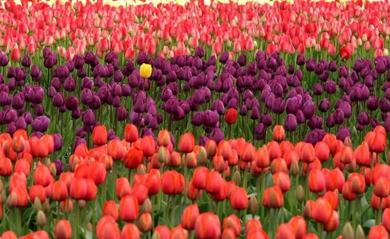 have,you,ever,seen,a,tulip,display