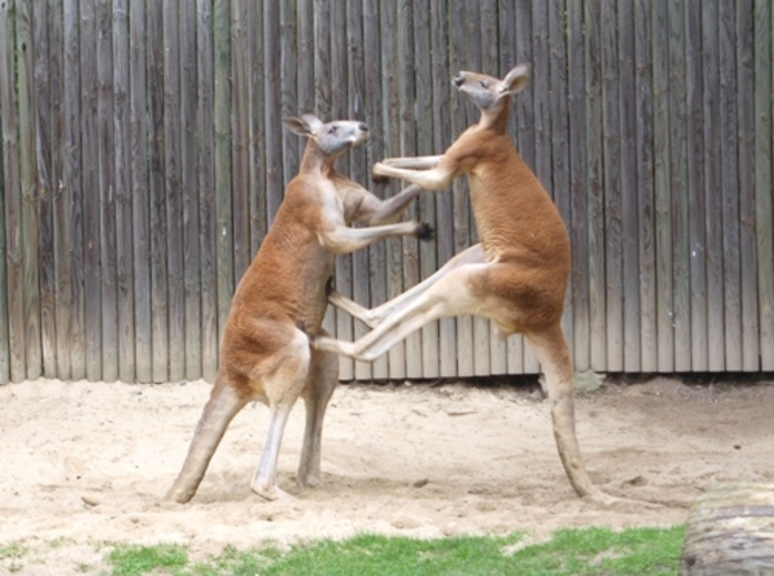 have,you,ever,seen,kangaroos,fighting