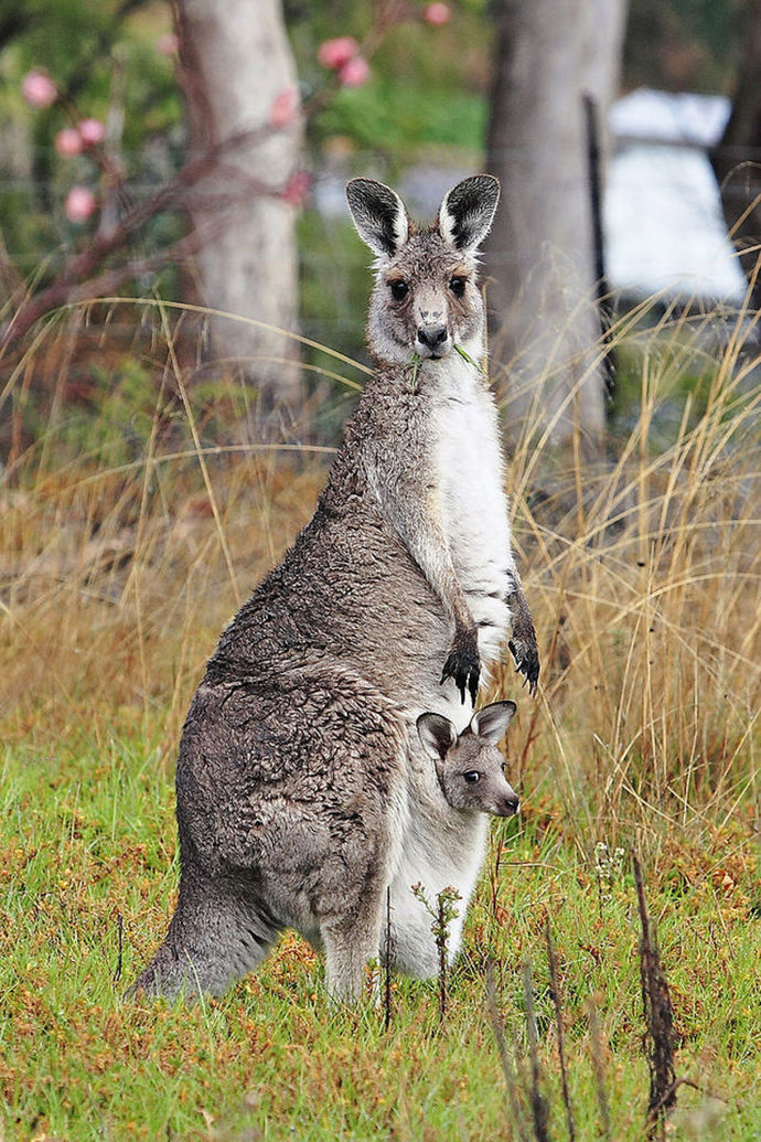 kangaroo, kangaroo and joey