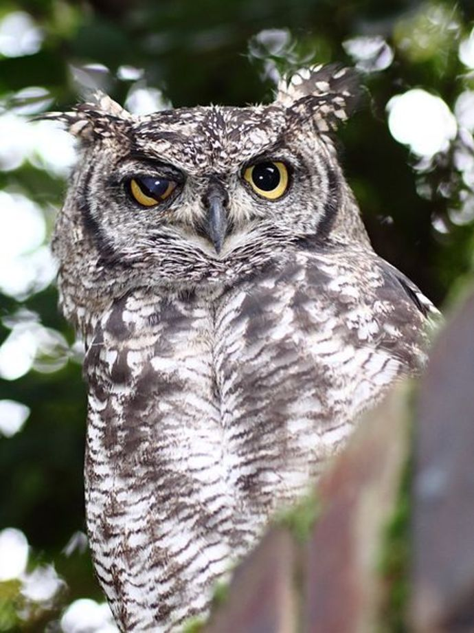 owl, spotted owl