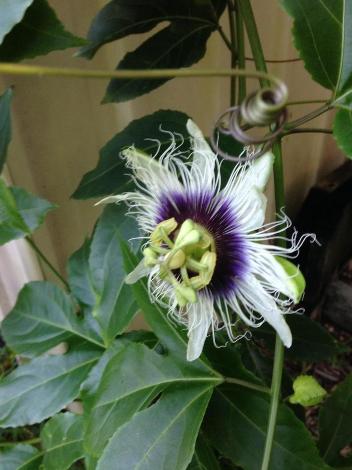 Passionfruit vine (Image by johnlindsay via morgueFile)