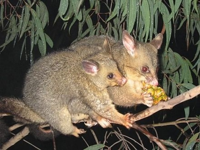 Possum with baby