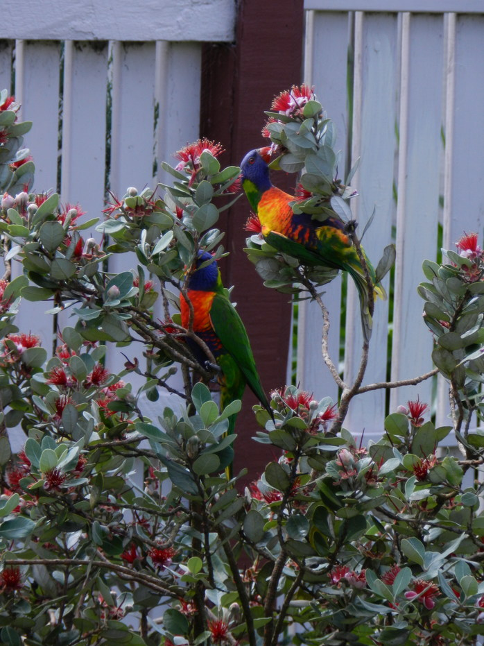 Rainbow lorikeets in our pineapple guava (Feijoa) tree.