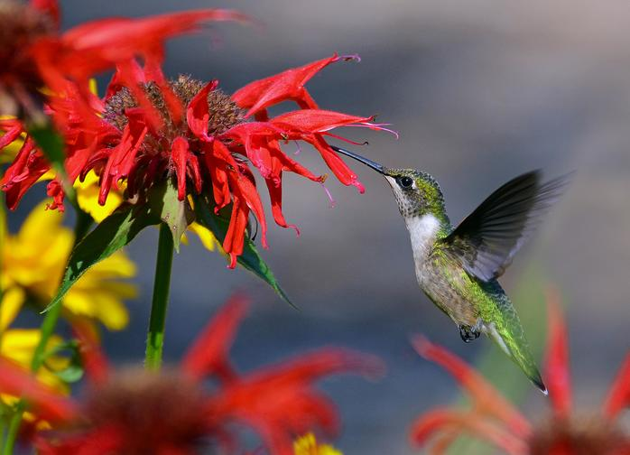 Ruby Throated Hummingbird in a Flower Garden (Image by AcrylicArtist via morgueFile)