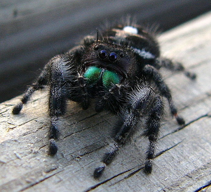 spider, jumping spider, arachnophobia
