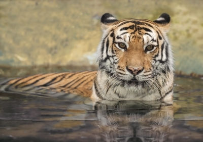 tiger emerging water