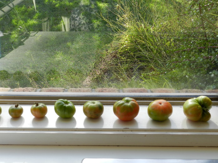 Tomatoes laid to ripen on the windowsill.