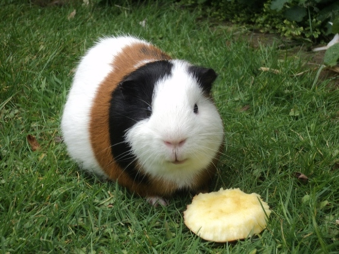 would,you,or,have,you,ever,owned,a,guinea,pig