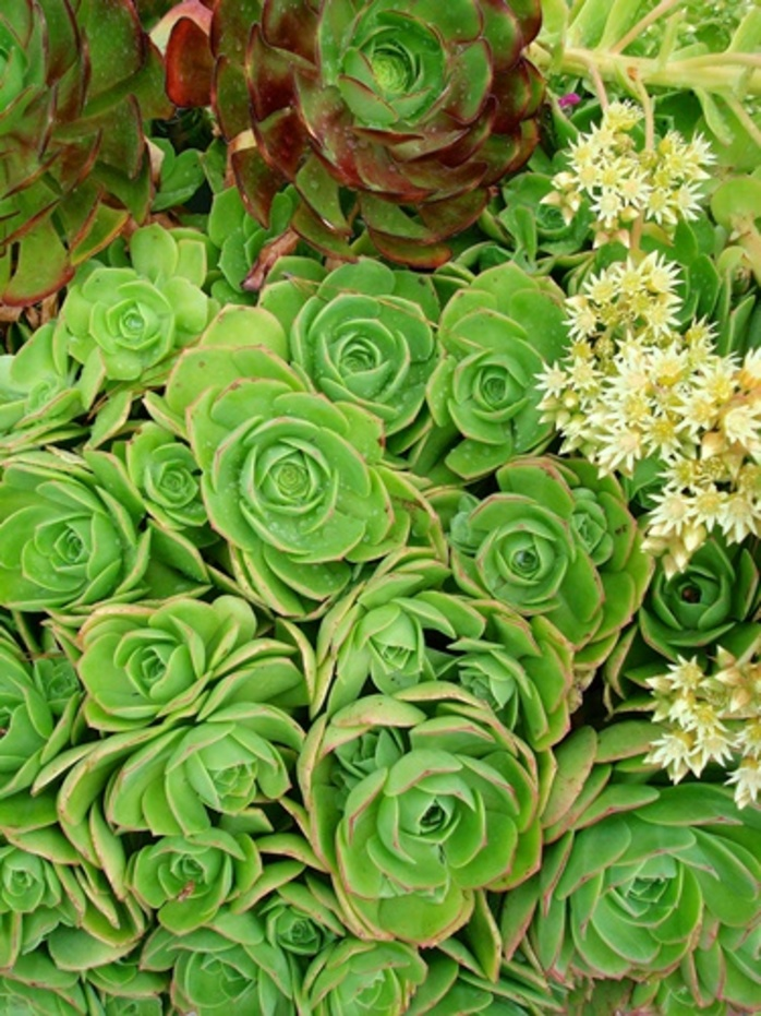 do,you,have,any,succulents,growing,in,your,garden
