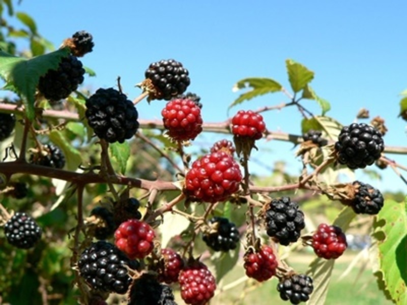 do,you,like,mulberries,and,have,you,ever,grown,them  - Do you like mulberries, and have you ever grown them?