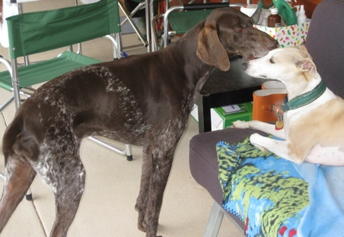 german,shorthair,pointer,with,whippet