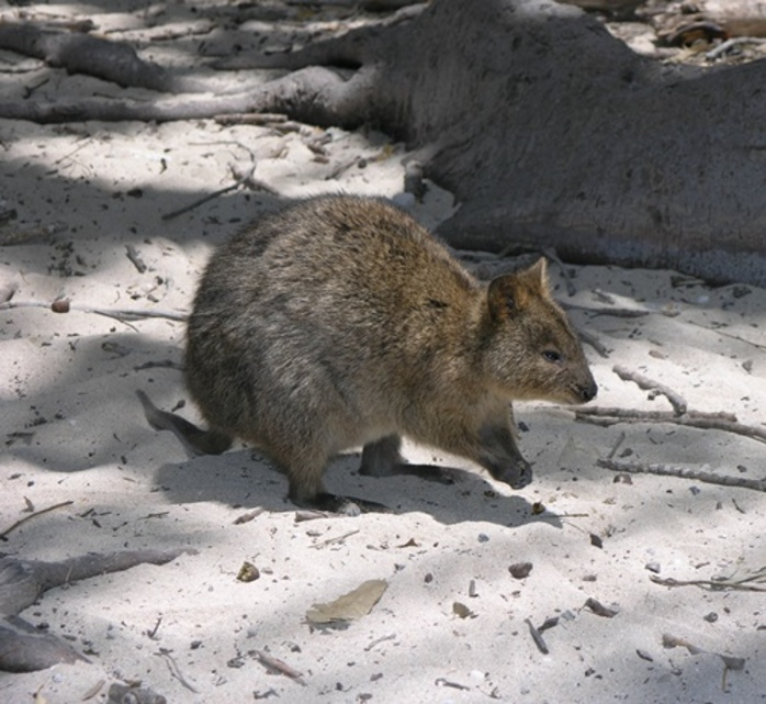 have,you,ever,been,to,Rottnest,or,Kangaroo,Island