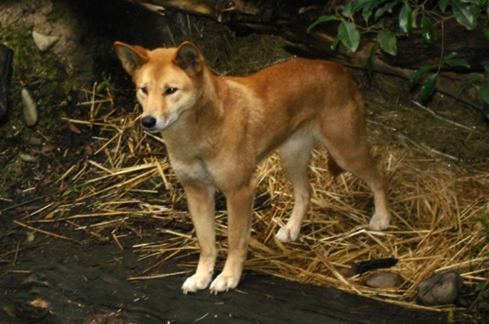 have,you,seen,a,dingo,in,the,wild