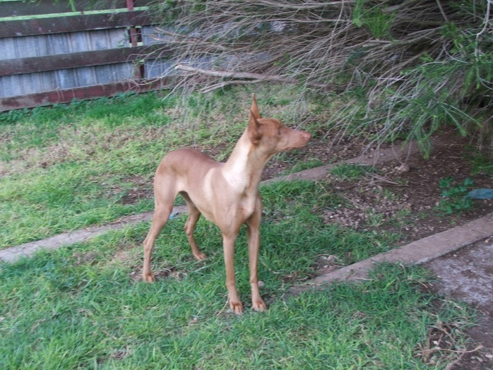 Our oldest Pharaoh Hound