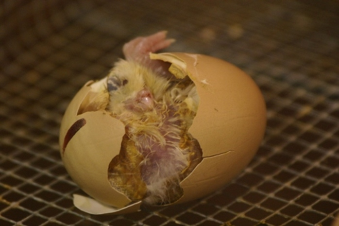 which,came,first,the,chicken,or,the,egg