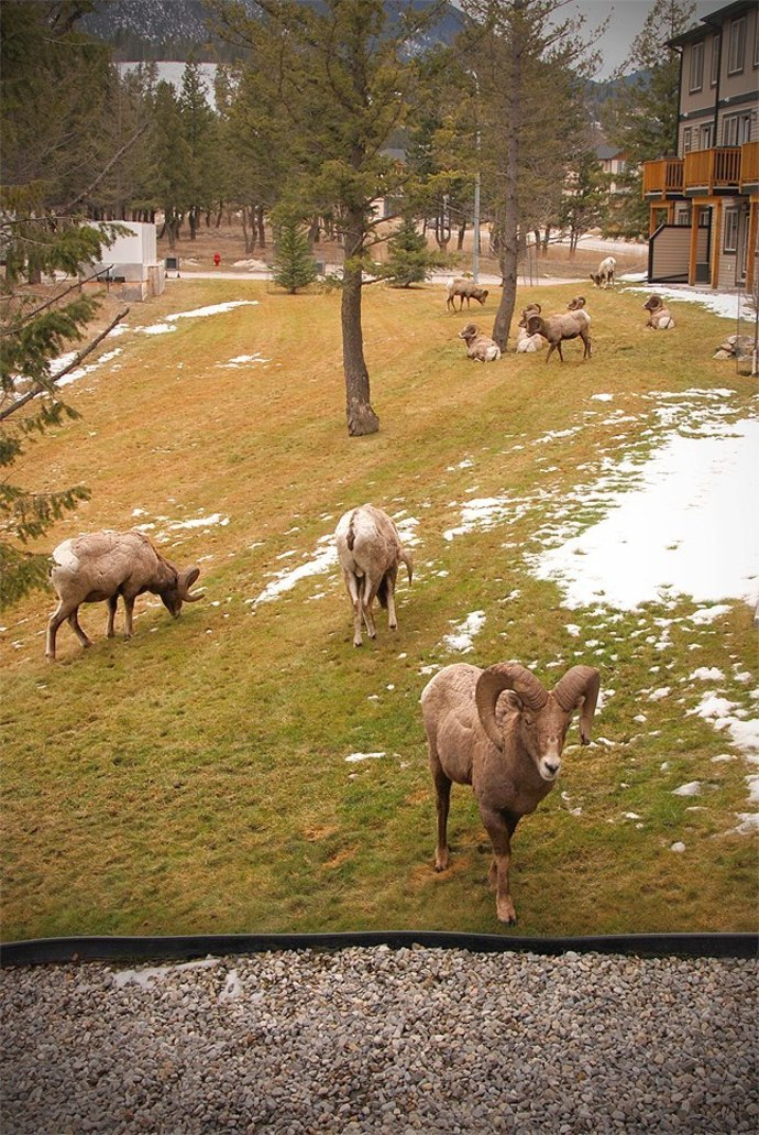 wildlife, bighorn sheep, mountains